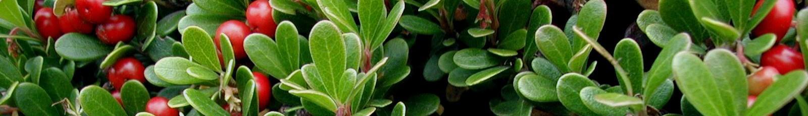 cropped-Arctostaphylos-uva-ursi-Kinnikinnick-N2.jpg