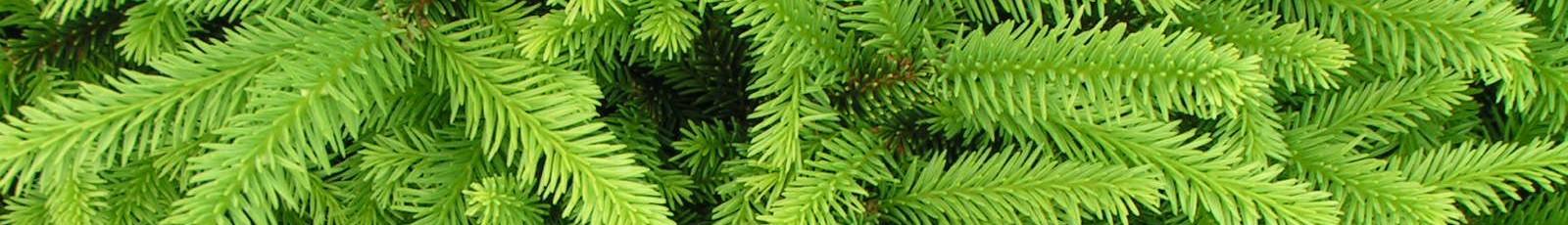 cropped-Picea-abies-Highlandia.jpg